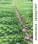 Closeup Norfolk Island Pine ...