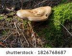 Mushroom On A Tree  Green Moss  ...