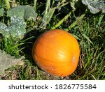 Pumpkin With Plant In The Field