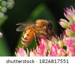 Honey Bee Pollinating A Sedum...