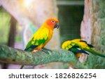 Beautiful Lovebird Parrot...