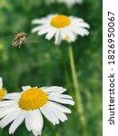 A Bee Flying Near A White Daisy ...