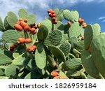 Sicilian Opuntia Cactus Plant...