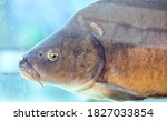 Mirror Carp  Cyprinus Carpio...
