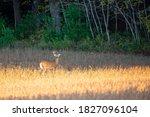 White Tailed Deer Buck ...