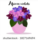 African Violet House Plant In...