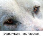 A White Shepherd Dog At A...