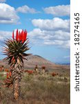 Small photo of beautiful example of an aloe ferox species in its natural state
