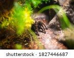 Tarantula Spider In A Natural...