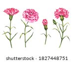Watercolor Set Of Carnations ...