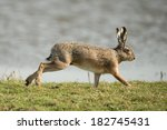Stock photo hare running in the field 182745431