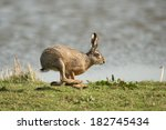 Stock photo hare running in the field 182745434