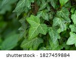 Ivy  Hedera Helix Or European...