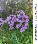 Purple Flowers Of Asters ...
