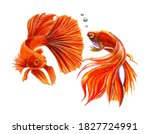 Gold Koi Carps  Illustration Of ...