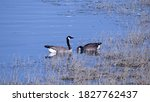 Two Geese Paddling On The...