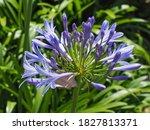 Agapanthus Praecox  Blue Lily...