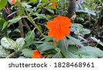 New Guinea Impatiens Flower In...