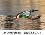 A northern shoveler duck has...