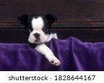 Boston Terrier Puppy Standing...