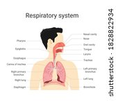 respiratory system. anatomy and ...   Shutterstock .eps vector #1828822934