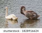 White And Grey Young Swans On...