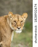 Vertical Portrait Of A Lioness...