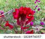 Red Plumed Cockscomb Flowers...