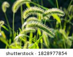 Plumes Of Grass Rimmed In Ligh...
