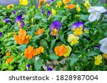 Pansies With Morning Dew  Usa