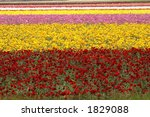 Rows Of Flowers At The Carlsba...