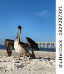 Pelican At The Florida Beach B...