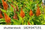 Orange Celosia Flowers. Orange...
