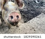 Happy Pig With Dirty Snout...