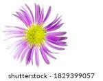Alpine Aster Flower. White...