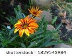 Two Flowers Of Gazania Rigens ...