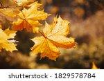 Autumn Maple Leaves Sunlight...