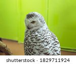 A Portrait Of Snowy Owl   Bubo...