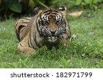 sumatran tiger an endemic... | Shutterstock . vector #182971799
