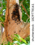 Small photo of Synoeca cyanea wasps in the tropical forest. Commonly known as warrior wasps or drumming wasps, they are known for their aggressive behavior. Wasp nest in a mango tree in Solimoes, Para, Brazil.