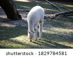 White Alpaca Eating Grass In...