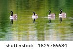 Four Canada Geese On The Lake