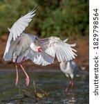 African Spoonbill Landing In...