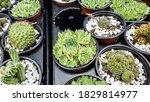 mini cactus in pots. green... | Shutterstock . vector #1829814977