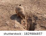 Prairie Dog Outside Its Home
