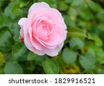 Delicate Pink Rose Among...