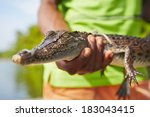 Man Is Holding Baby Crocodile...