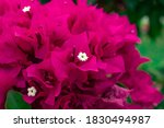 Close Up Pink Bougainvillea I...