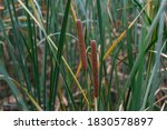 Field Of Typha Angustifolia...