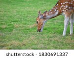 Female Spotted Deer Or Chital...